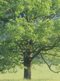 Bur Oak, Quercus Macrocarpa, Eastern North America