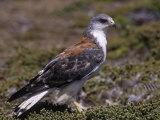 Red-Backed Buzzard, Buteo Polyosoma, Falkland Islands
