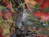 Gray-Cheeked Thrush in Virginia Creeper in the Fall (Catharus Minimus). Eastern USA