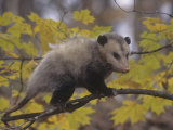 Opossum in a Tree in a Deciduous Forest, Didelphis Virginiana, USA