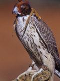 Prairie Falcon, Falco Mexicanus, Hooded for Use in Falconry, North America