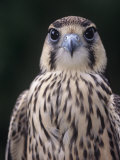 Lanner Falcon Head, Falco Biarmicus, Africa