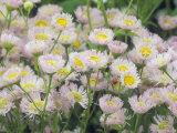 Fleabane Daisy Flowers, Erigeron Philadelphicus, North America