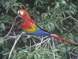 Scarlet Macaw, Ara Macao, Amazonia, Brazil, South America