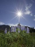 Lupine, Lupinus, Colorado, USA