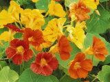 Nasturtium Flower Color Varieties, Tropaeolum, USA