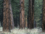 Understory Vegetation and Bark of a Ponderosa Pine Forest, Pinus Ponderosa, Western North America