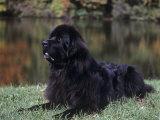 Newfoundland Variety of Domestic Dog