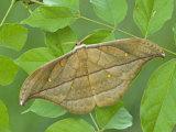Saturnid Moth Adult Male (Copaxa Decreasens). Ecuador