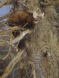 Pine Marten, Martes Americana, North America
