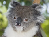 Koala Head (Phascolarctos Cinereus), Australia