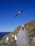 Black-Browed Albatross Chick, Diomedea Melanophris, Falkland Islands