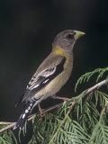 Female Evening Grosbeak, Coccothraustes Vespertinus, Eastern North America