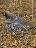 Scaled Quail (Callipepla Squamata), Texas, USA