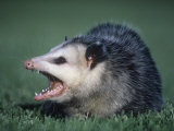 Opossum Showing its Teeth (Didelphis Marsupialis), USA