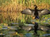 Anhinga Drying its Wings, Anhinga Anhinga, . Note its Reflection in the Marsh Pond. Southern USA