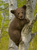 Black Bear, Ursus Americanus, Female Cub in a Tree, North America
