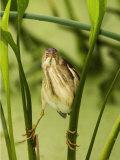 Least Bittern, Ixobrychus Exilis, . USA