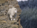 Mountain Goat, Oreamnos Americanus, on a Steep Mountain Cliff, Rocky Mountains, North America