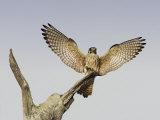 American Kestrel, Falco Sparverius, Female Landing, North America