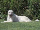 Irish Wolfhound Breed of Domestic Dog