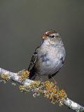 White-Crowned Sparrow in First Winter Plumage, Zonotrichia Leucophrys, North America