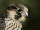 Peregrine Falcon Head Showing its Eye and Bill, Falco Peregrinus, North America