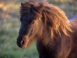 Shetland Pony, Unst, Shetland Islands, Scotland, United Kingdom, Europe