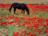 Black Horse in a Poppy Field, Chianti, Tuscany, Italy, Europe