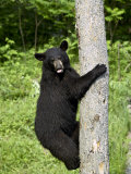 Black Bear Climbing a Tree, in Captivity, Sandstone, Minnesota, USA
