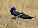Lilac-Breasted Roller Landing with a Grasshopper in its Beak, Masai Mara National Reserve, Kenya