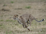 Cheetah, Masai Mara National Reserve, Kenya, East Africa, Africa