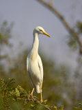 Cattle Egret, Kruger National Park, South Africa, Africa