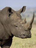 White Rhinoceros, Kruger National Park, South Africa, Africa