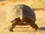 Leopard Tortoise, Addo Elephant National Park, South Africa, Africa