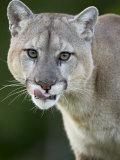 Mountain Lion, in Captivity, Sandstone, Minnesota, USA