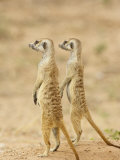 Two Meerkat or Suricate, Kgalagadi Transfrontier Park, South Africa