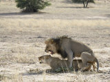 Lion Mating, Kgalagadi Transfrontier Park, South Africa