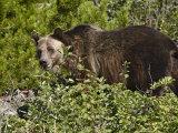 Grizzly Bear, Glacier National Park, Montana, USA
