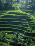 Rice Terraces, Bali, Indonesia, Southeast Asia
