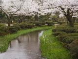 Cherry Blossom in Kenrokuen Garden, Kanazawa, Honshu Island, Japan