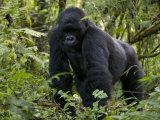 Mountain Gorilla, Silverback, Kongo, Rwanda, Africa