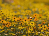 Namaqualand Daisy, Western Cape, South Africa, Africa