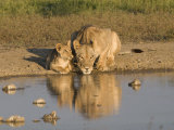 Lioness and Cubs, Kgalagadi Transfrontier Park, Northern Cape, South Africa, Africa
