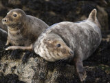 Grey Seals, Farne Islands, Seahouses, Northumberland, England, United Kingdom