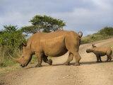 White Rhino and Calf, Ithala Game Reserve, Kwazulu Natal, South Africa