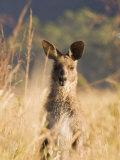 Eastern Grey Kangaroo, Geehi, Kosciuszko National Park, New South Wales, Australia, Pacific