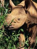 Baby Black Rhinoceros, Africa