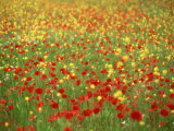 Wild Flowers Including Poppies in a Field in Majorca,Balearic Islands, Spain, Europe