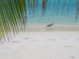 Heron Wading Along Water's Edge on Tropical Beach, Maldives, Indian Ocean